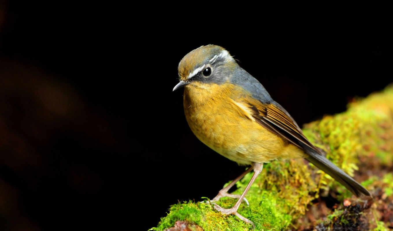 птицы, красивые, весной, птица, les, желтая, нравится, flycatcher,