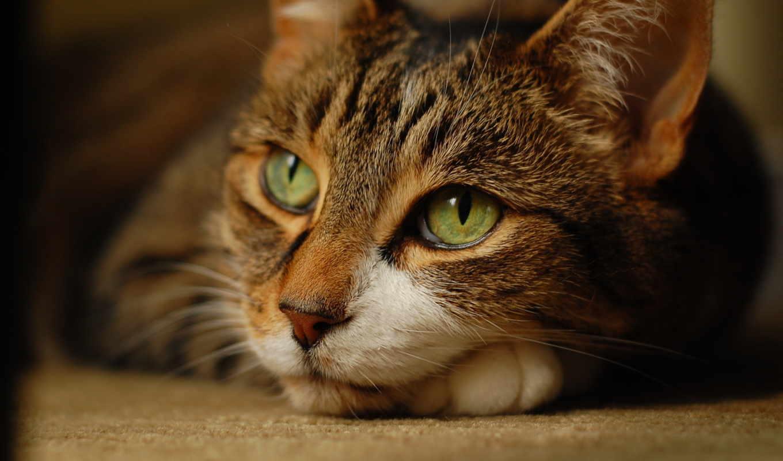 кошка, лежит, взгляд, картинка, разрешением, кот, ней, правой, скачивания, wallpaper, мыши, save, as, picture, with, картинку, выберите, кнопкой,