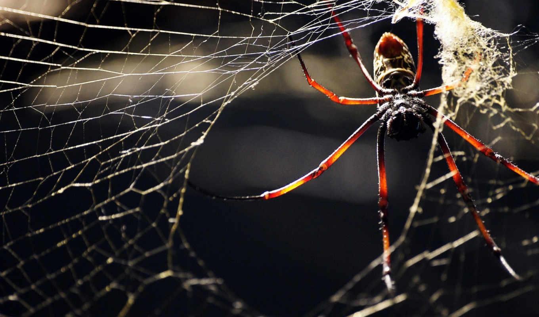 паук, насекомое, паутина, лапки, животные, картинку, код, макро, телефон, пауки,