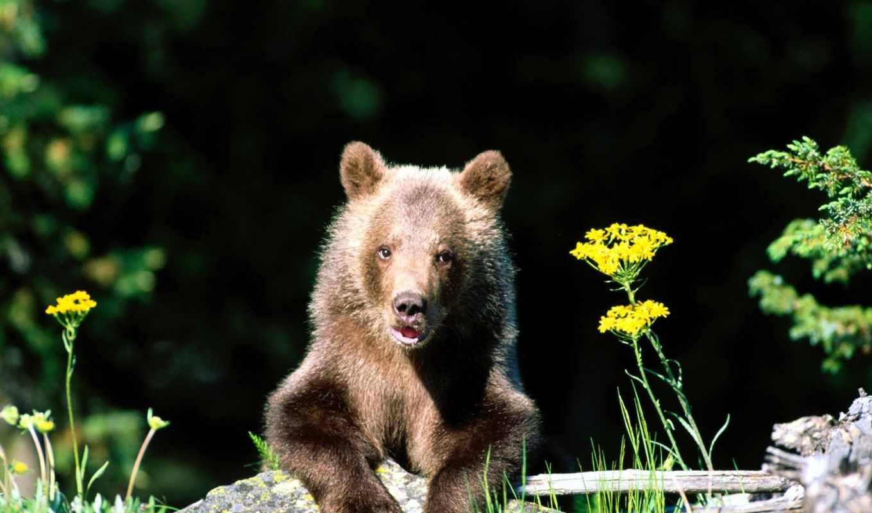 медведи, медведь, цветы, zhivotnye, сайте, браун,