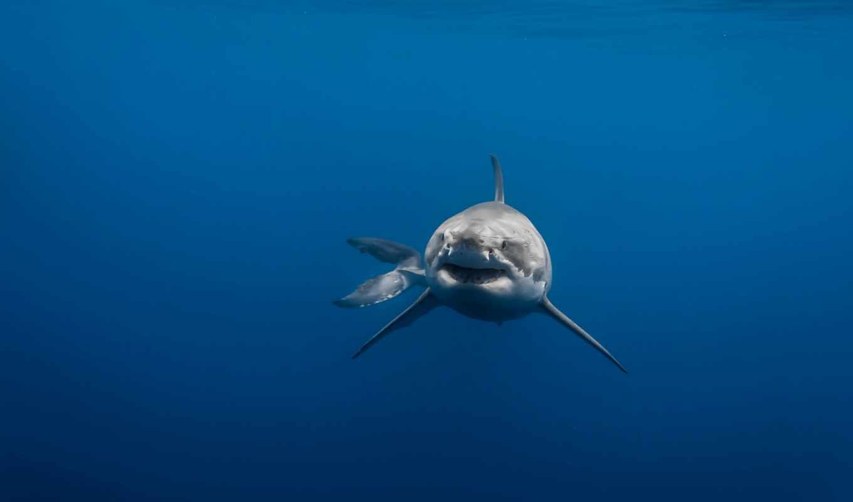 ,акула,море,вода,хищник,