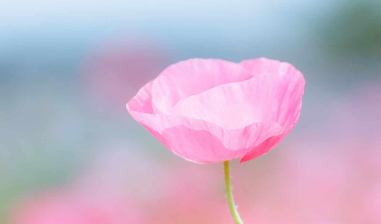 макро, poppy, цветы, лепестки, розовый, размытость,