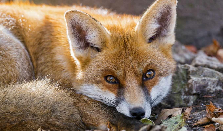 фокс, рыжая, лисы, природа, уже, загружено,