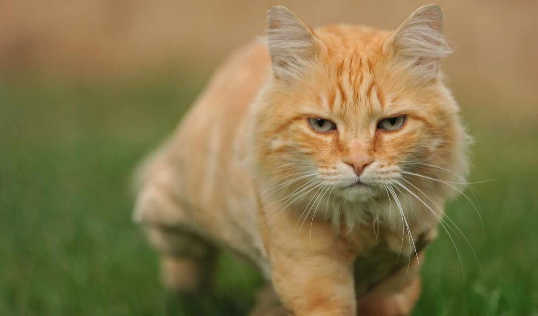 рыжий, кот, трава, крадется,