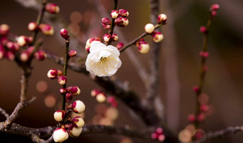 весна, branch, цветы, картинка, почки, cherry, абрикос, лепестки,