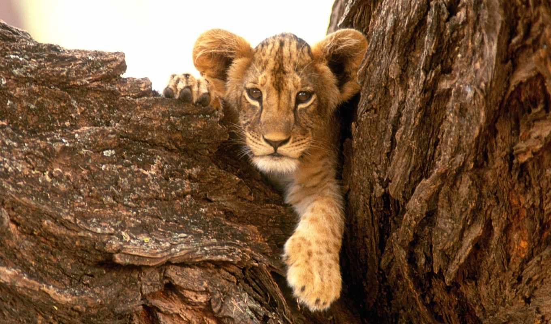 львенок, lion, свой, дереве, совершенно, wpapers, львенком,
