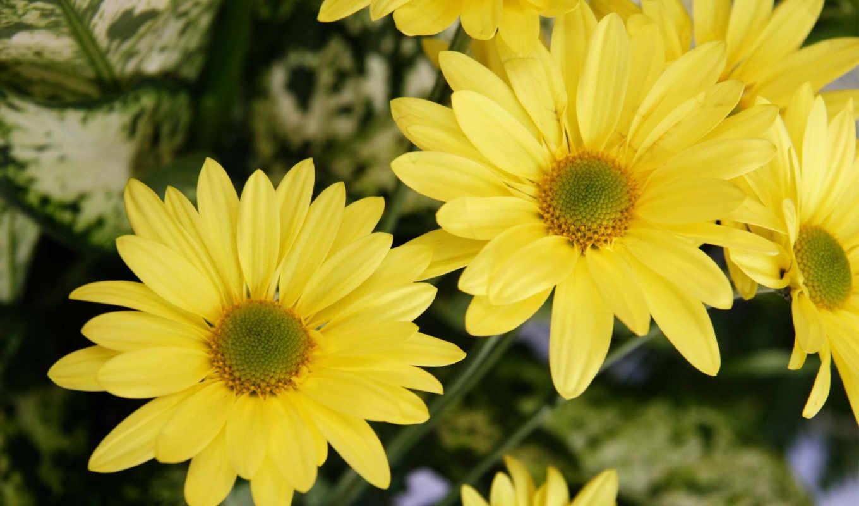 flores, amarillas, fondos, категория,