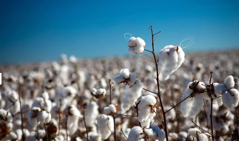 cotton, растение, organic,