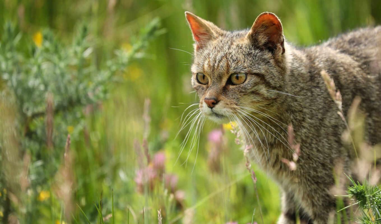 кот, fore, wild, смотреть, grey, серый, природа, взгляд