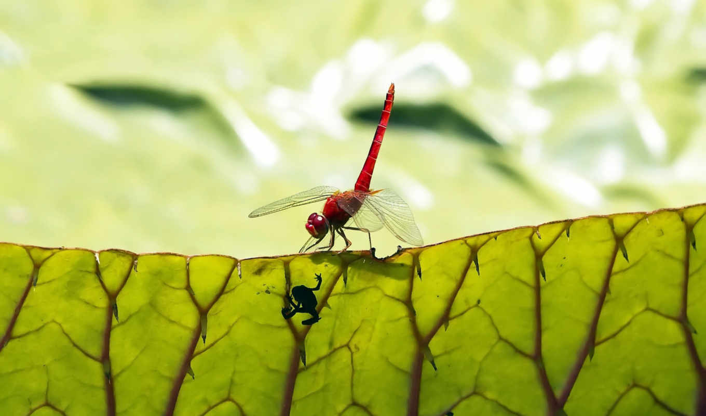 стрекоза, лягушонок, лист, red, картинка, tags,