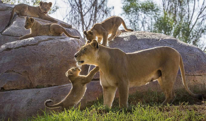 львица, львы, львята, lion, детеныши, zoo, котята,