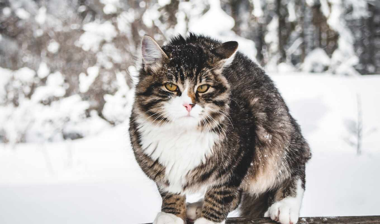 кот, winter, снег, ветер, тюмень, заставка, девушка, shantazhirovat, мужчина