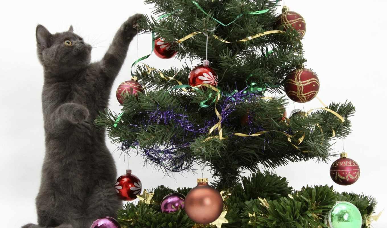 новогодние, christmas, кошки, животные, елку, украшает, кошка, британская, подарки, new, коты, year,
