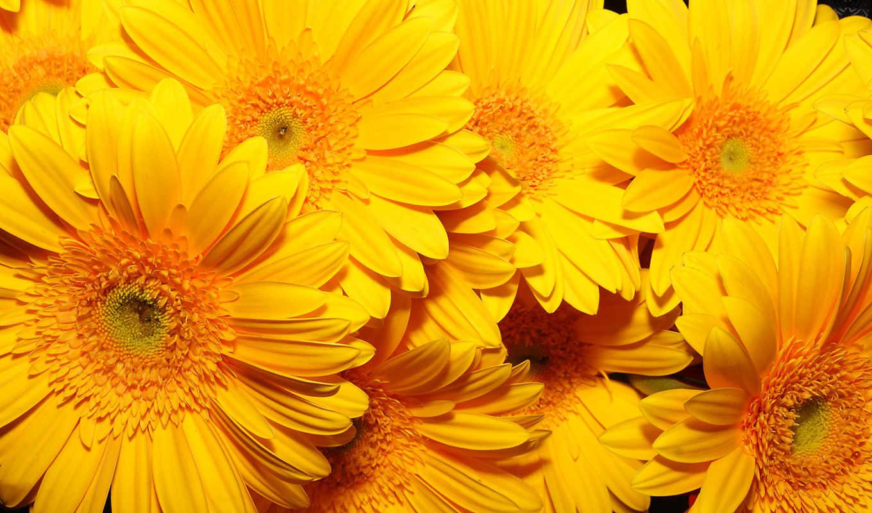 цветы, желтые, подсолнухи,