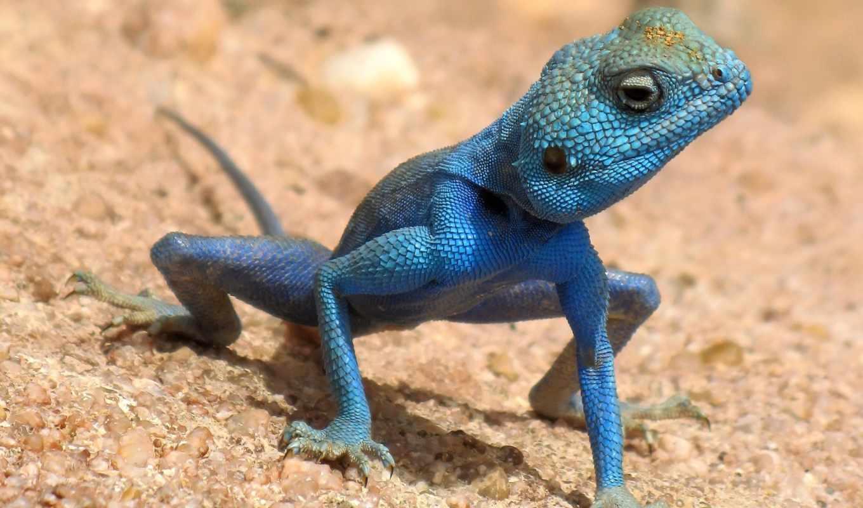 are, blue, animals, хамелион, ящерица,