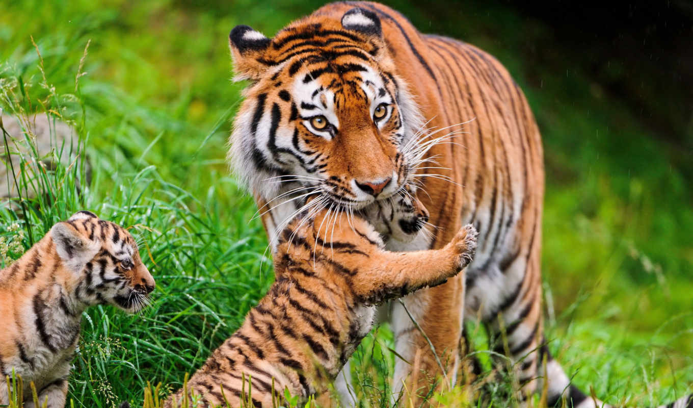 тигрица, тигрятами, тигры, тигренка, переносит, card, амурская, тайган, тигрят,