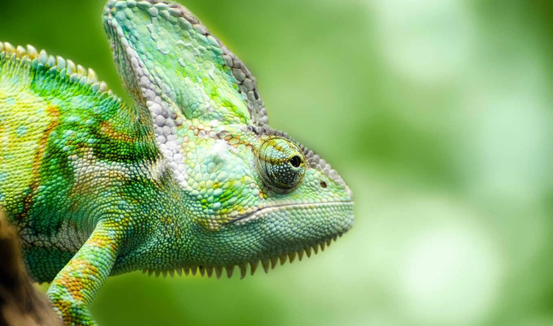 chameleon, ящер, зелёный,