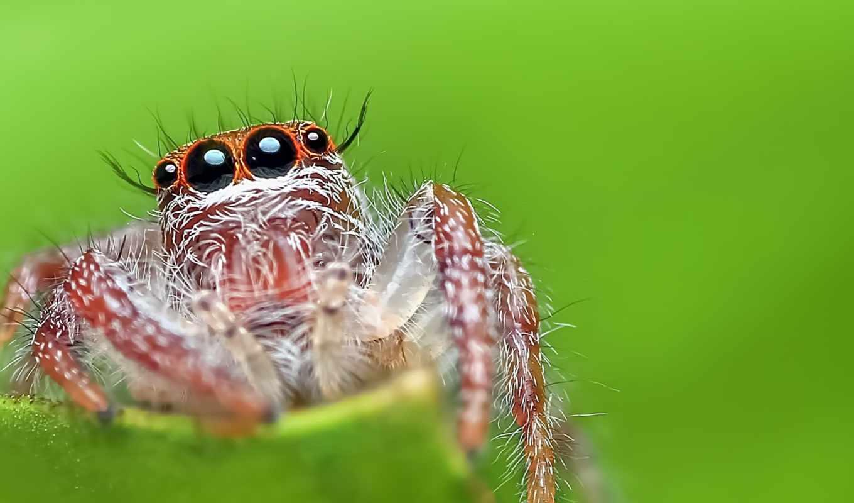 паук, jumping, макро, фон, free, зелёный, desktop,