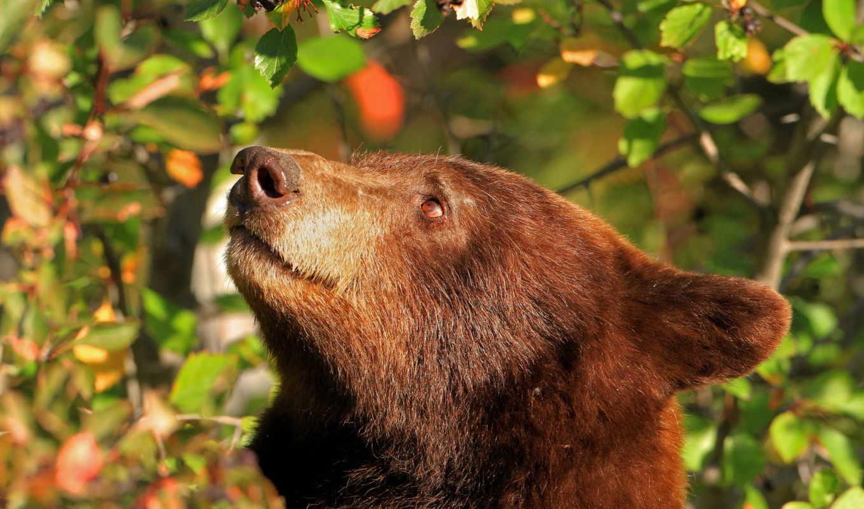 медведи, голова, бурые, desktop, гризли, барибал, free, animals, медведь, морда,