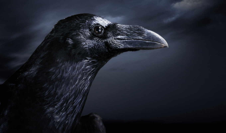 ворон, black,