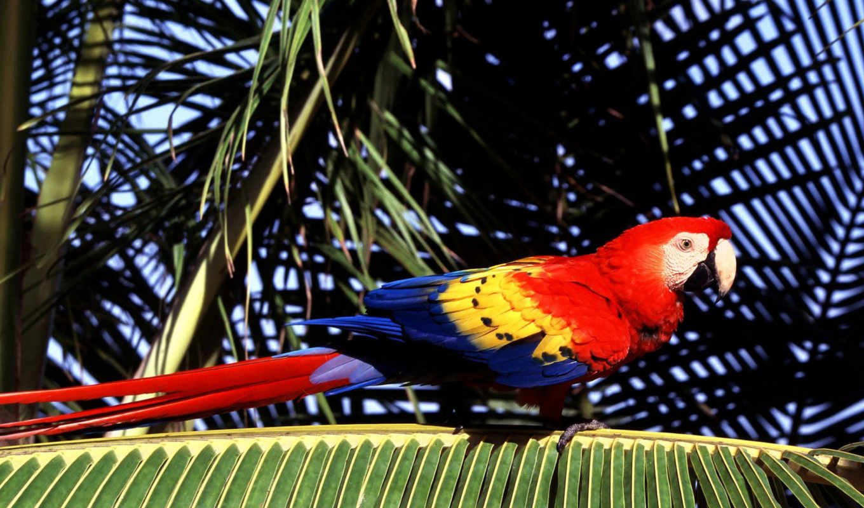 красивые, птицами, ara, pappagallo, попугай, zhivotnye, ди,