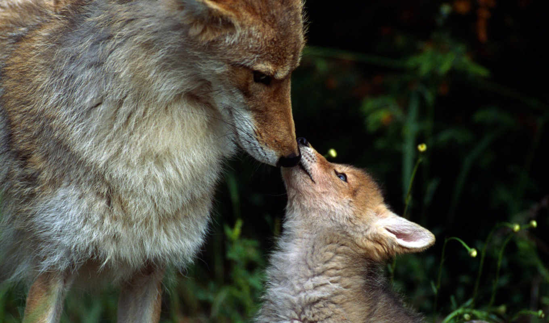 small, лисенок, маму, целует, лису,