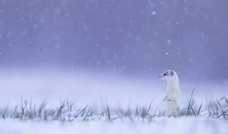 ermine, eoan, winter, jus, снег, франция, animal, dimension