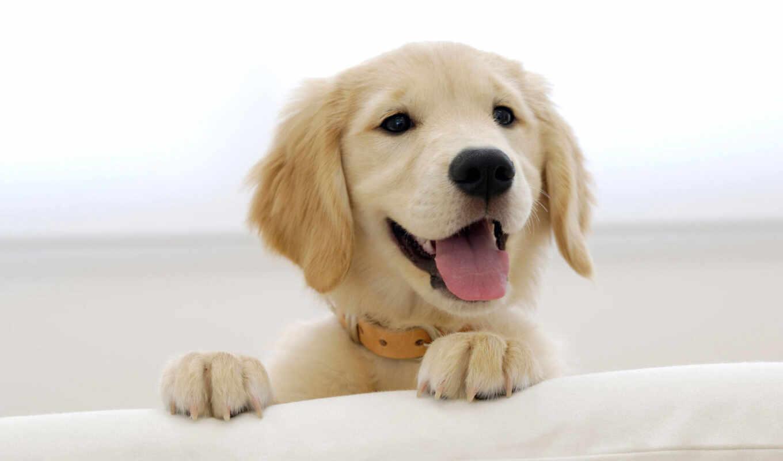 обои, собака, лабрадор, животные, собаки, щенок, а