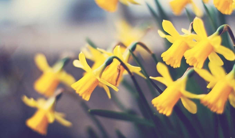 flowers, nature, цветы, yellow, daffodils, flora, желтые,