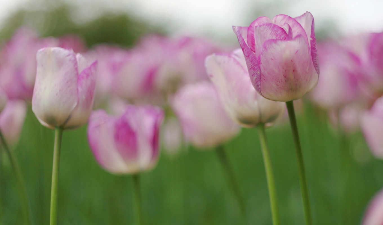 тюльпаны, цветы, бутоны, розовые, весна, tulips, марта, тюльпан, плантация,