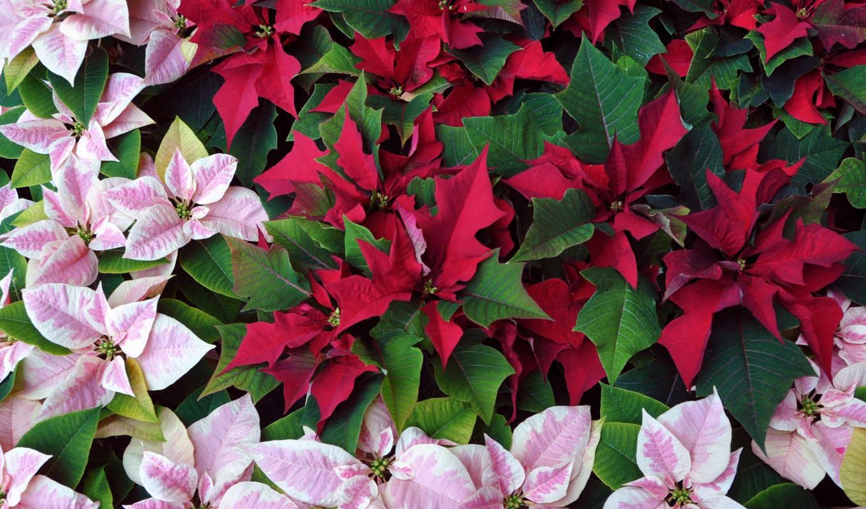 star, christmas, дек, красивый, пуансеттия, янв, wars, молочай, poinsettia, цветы,