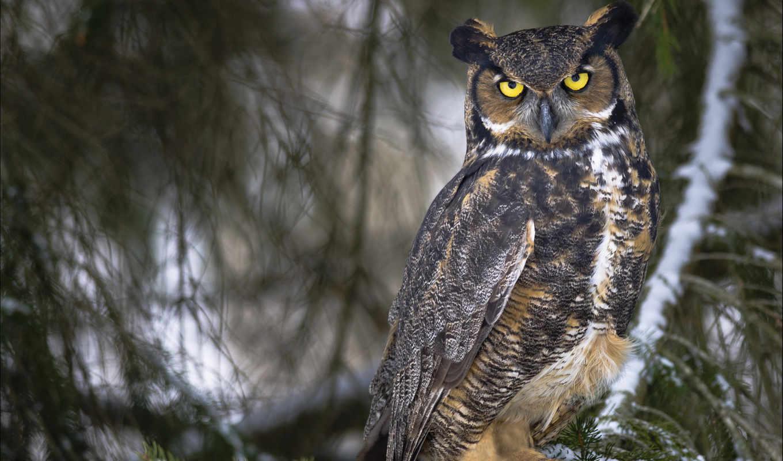 owl, животные, филин, animal, совы, download, save, wide, картинка, desktop, изображение,