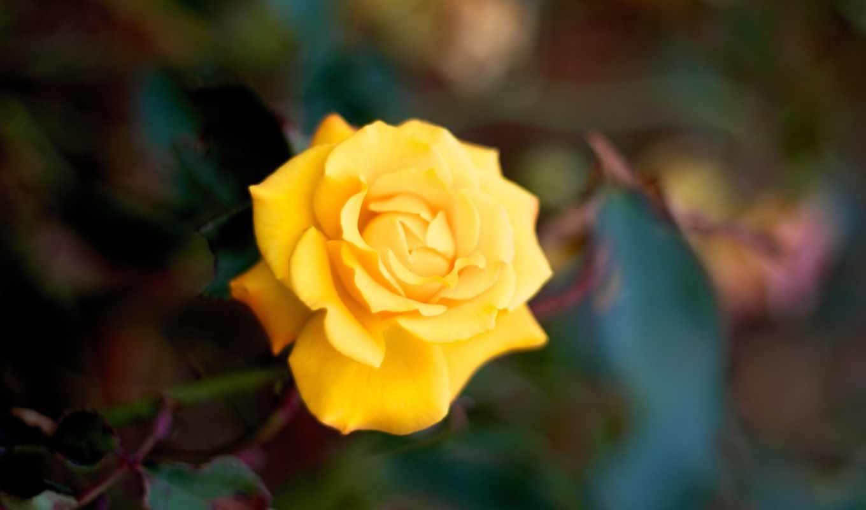 картины, модулей, цветы, графика, роза, twitter, макро, модульная, instagram,