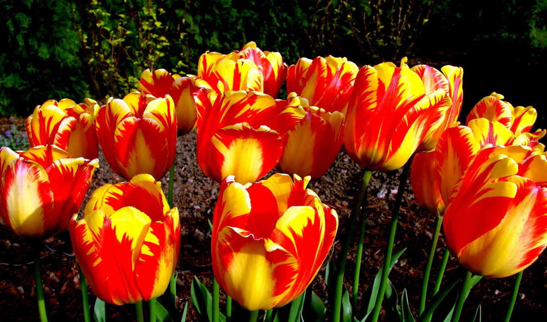 тюльпаны, цветы, день,