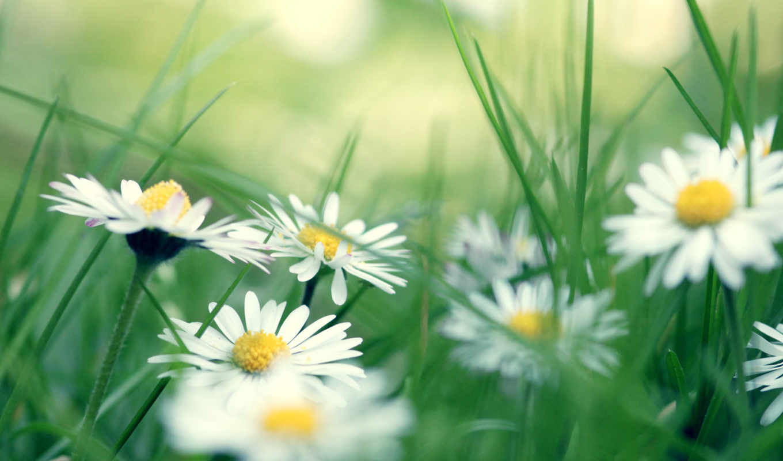 ромашки, цветы, трава,