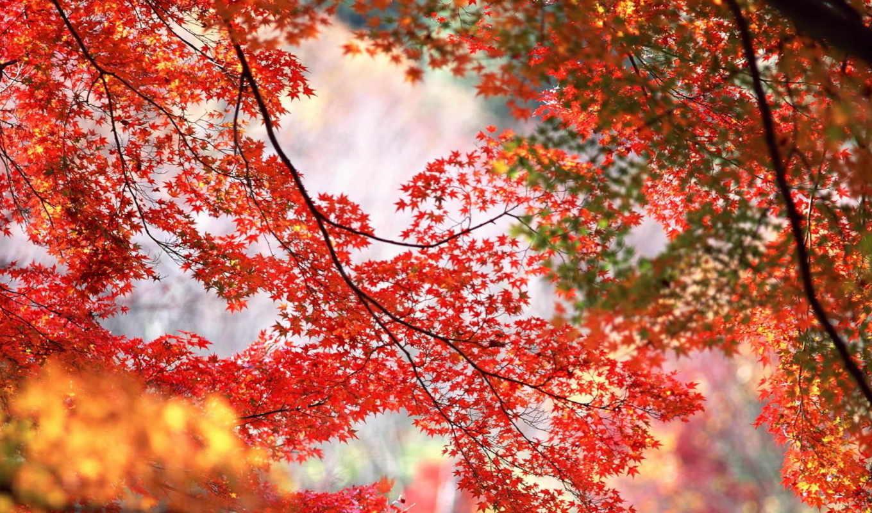 красные, листья, осень, ветки,