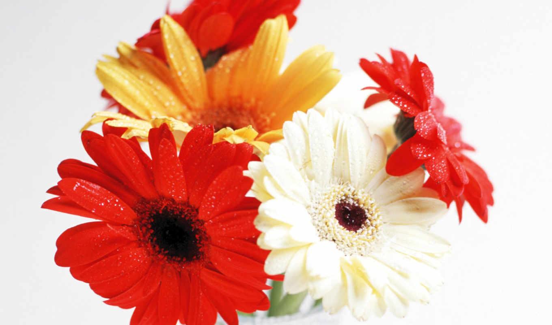 цветы, герберы, телефон, www, картинка, flowers, бесплатную, mobile, картинку,
