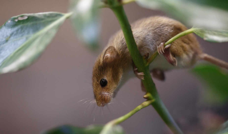 branch, коллекция, мыши, mouse, морда,