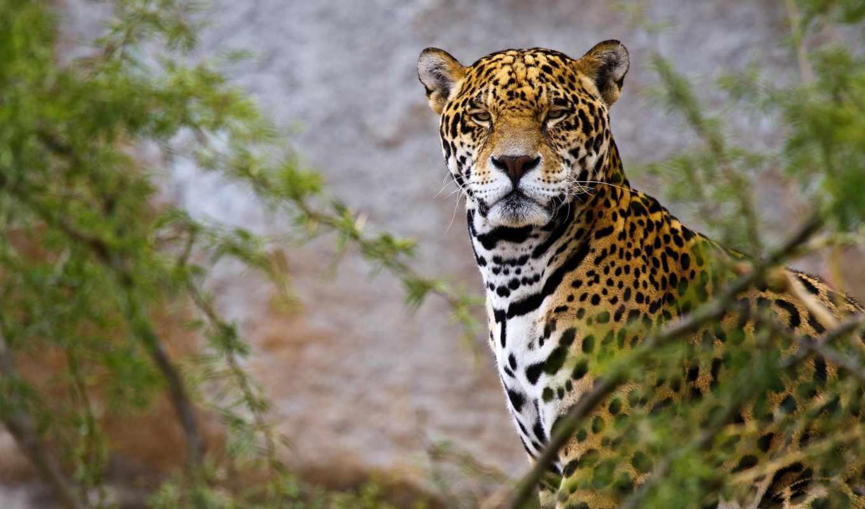 jaguar, pictures, animal,