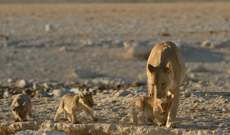 animallion, leones, unsubscribe, kingdom, cachorros, fotos, loading, паркс, youtube, wild,