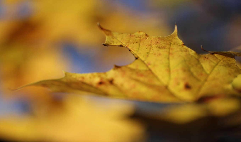 макро, природа, код, желтый, лист, осень,