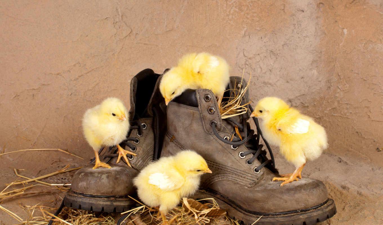 животные, молодой, цыплята,