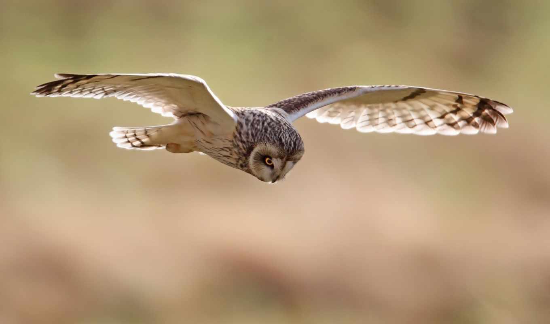 сова, птица, wings, полет,