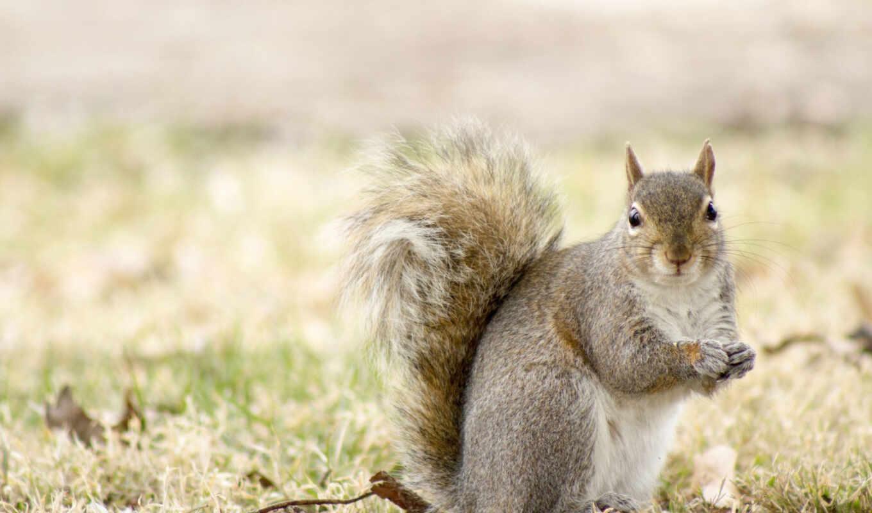 squirrel, ,