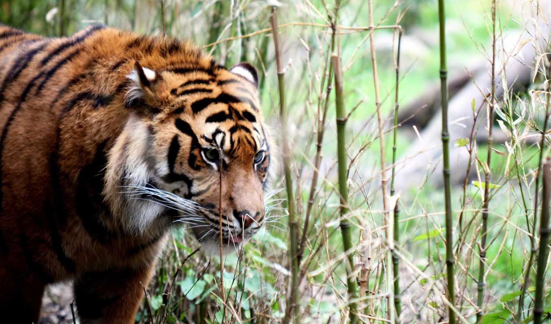 ,тигр, природа, животные, animals,