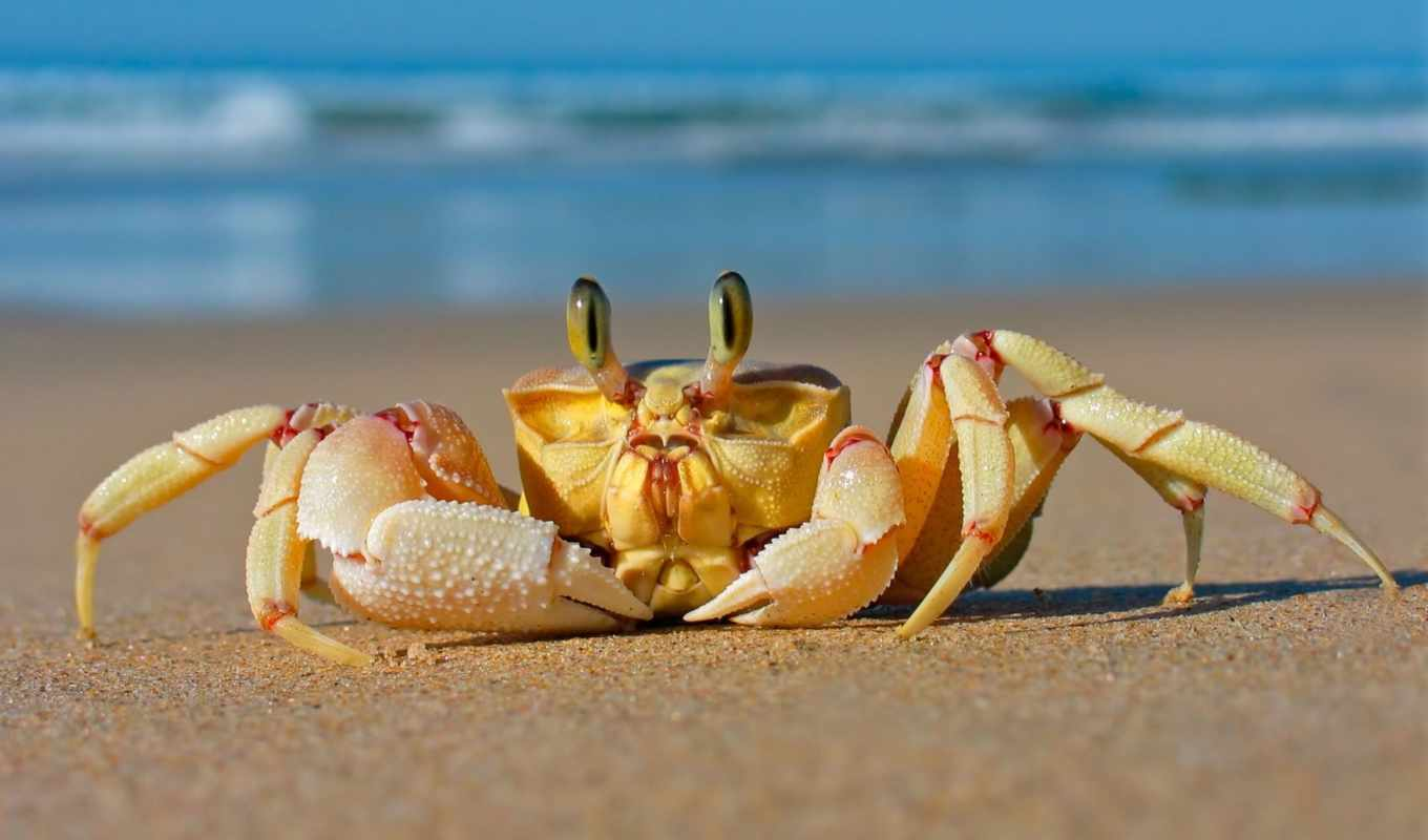 crab, пляж, resolution, desktop, песок, high, free, photos,