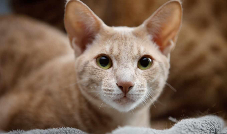 кот, ocicat, het, domestic, котенок, кат, порода, short