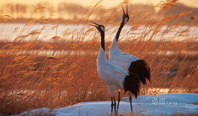 crane, oiseau, sarus, buring, птица, pinterest, bangau, world, beau, hayvanlar, dance
