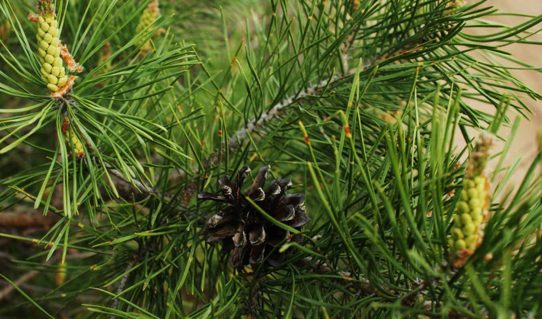 pine, cone, ветки, макро, нояб, трава, ёль,