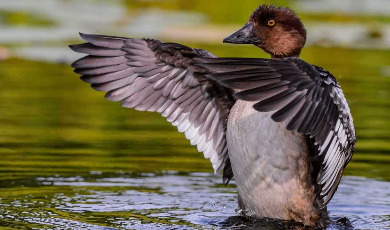 утка, water, гоголь, крылья, птица,